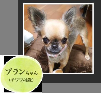 ブランちゃん(チワワ/4歳)