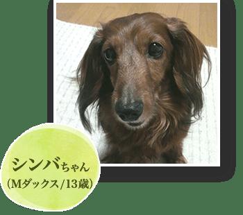 シンバちゃん(Mダックス/13歳)