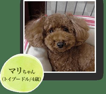 マリちゃん(トイプードル/4歳)