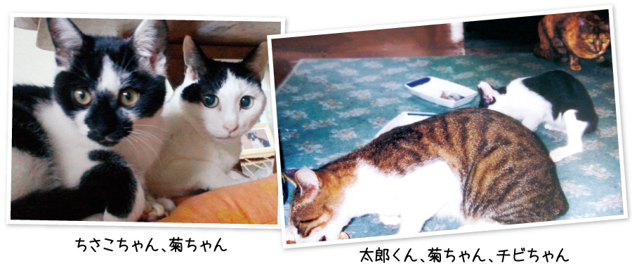 菊ちゃんもちさこちゃんも保護した猫です。