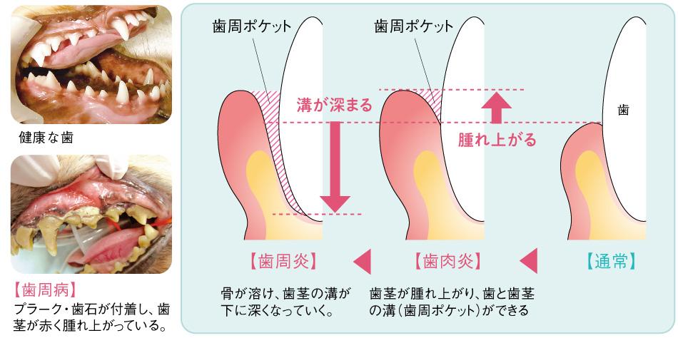 犬猫の歯肉炎と歯周病