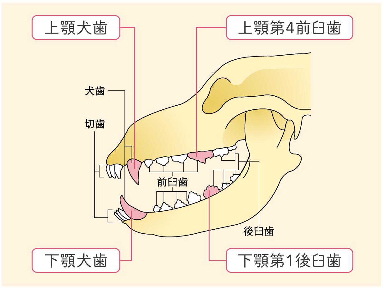 犬猫の大切な歯を守る方法