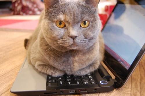 愛猫がパソコンのキーボードを乗っ取り、その場に居座って微動だにせず